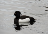 Tufted duck, Trottick Ponds