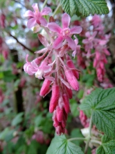 Pink flowers, Bridgefoot
