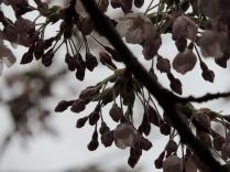 Blossom, Rodney Gardens, Perth