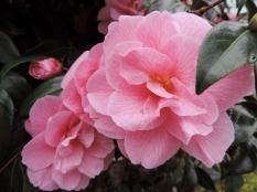 Pink flowers, Rodney Gardens, Perth