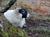 Sheep, Spean Bridge
