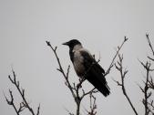 Hooded crow, Spean Bridge