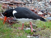 Oyster Catcher, Fort William
