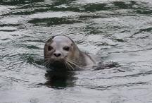 Seal, Scottish Sealife Sanctuary, Oban