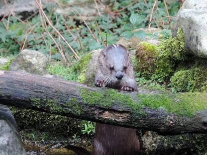 Otter, Scottish Sealife Sanctuary, Oban
