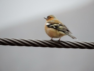 Chaffinch on a rope bridge, Glen Nevis