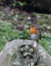 Robin, Balgay Cemetery