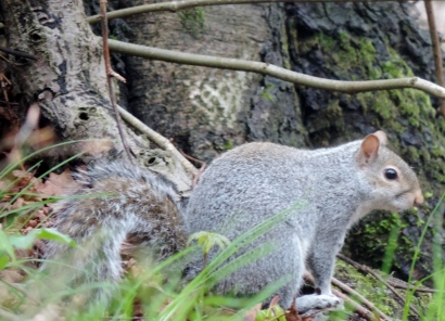 Grey Squirrel, Balgay Cemetery