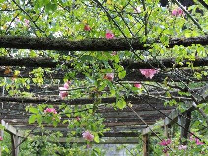 Rose and clematis trellis
