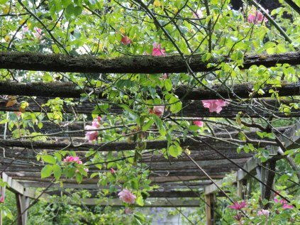 Rose and clematis trellis