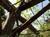 Spider's web in the rose and clematis walk