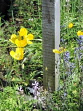 Yellow poppies and sign post