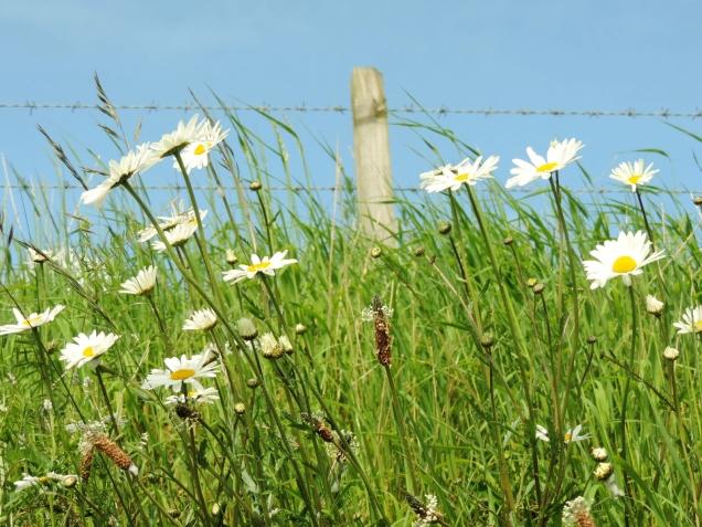 Big daisies