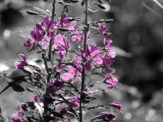 Black white and pink flowerweed