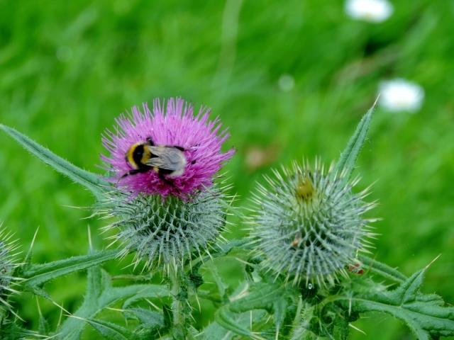 Bee on thistle at Monikie