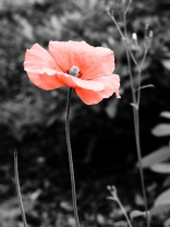 A poppy on a colour filter