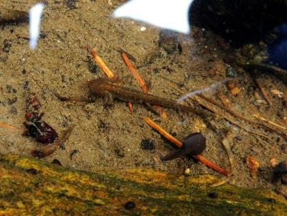 A newt.