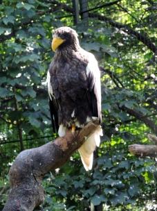 Sea eagle, Edinburgh Zoo