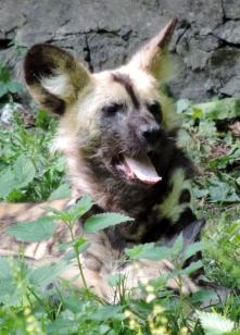 Painted hunting dog, Edinburgh Zoo