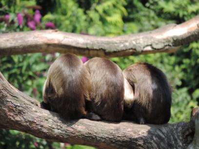 Cappuchin monkeys, Edinburgh Zoo
