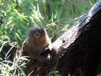 Pygmy Marmoset, Edinburgh Zoo