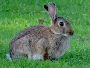 Rabbit, Bridgefoot Cemetery