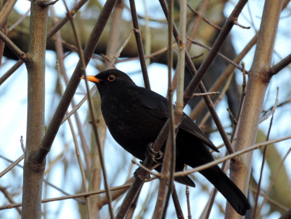 The Blackbird is Singing - a Poem by Enid Blyton