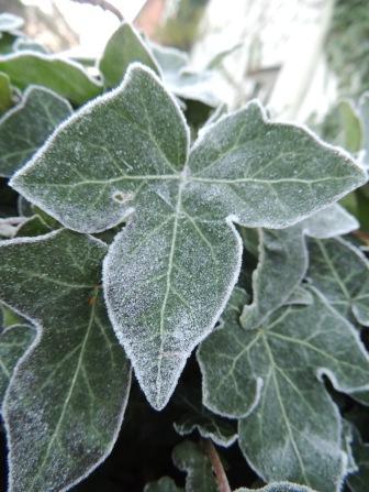 Ivy leaf frosty outline