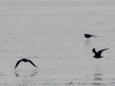Coastal birds in the Tay