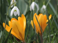 Crocus and Snow Drops