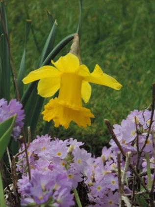Daffodil, Bridgefoot