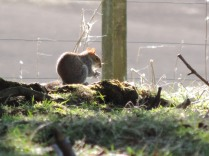 Squirrel, Falkland Estate