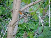 Robin, Bridgefoot