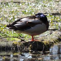 Duck, Templeton