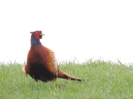 Pheasant by Bridgefoot