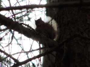 Red squirrel in Craigvinean Forest