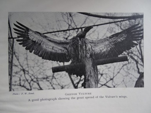 london zoo vulture